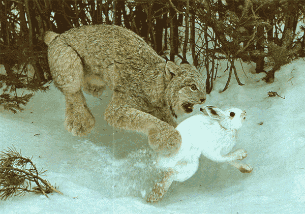 Lynx after a snowshoe hare
